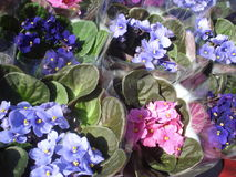 Parma violets in pots at flower shop Stock Photography