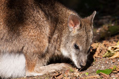 A parma wallaby Stock Photos