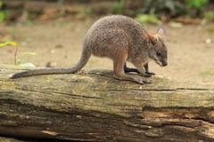 Parma wallaby. The parma wallaby on the fallen tree trunk royalty free stock photography