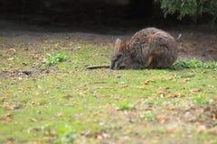 Parma wallaby zdjęcia royalty free