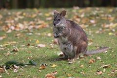 Parma wallaby zdjęcie royalty free