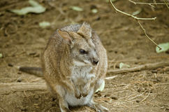 Parma Wallaby obrazy stock