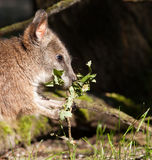 A parma wallaby eating Stock Photos