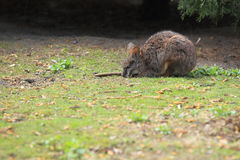 Parma wallaby Royalty Free Stock Photos