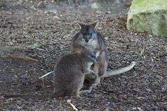 Parma Wallaby - Macropus parma Royalty Free Stock Images