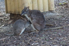 Parma Wallaby - Macropus parma Royalty Free Stock Photos