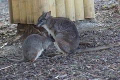 Parma Wallaby - Macropus parma Royalty Free Stock Photos