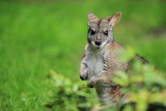 Parma wallaby. Standing in the grass stock image