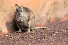 Parma wallaby Stock Images