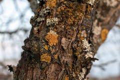 Parmelia sulcata liszaj na drzewnej barkentyny bagażniku obrazy royalty free