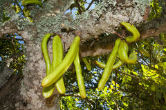 Parmentiera edulis - candle tree green exotic fruit. Stock Photo
