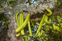 Parmentiera edulis - esamini in controluce la frutta esotica verde dell'albero Fotografia Stock