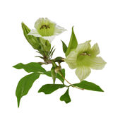 Parmentiera Edulis Flowers Stock Photo