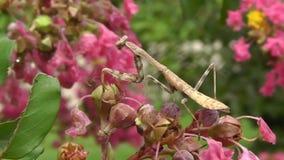 Parmi la nature - un insecte de mante de prière attrape presque une mouche banque de vidéos
