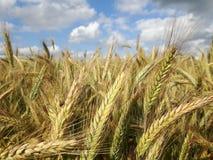 Parmi le blé Images stock
