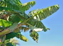 Parmi les longues feuilles d'un palmier il y a des groupes de banan Photo stock