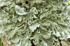 Lichen – Parmotrema. Parmotrema is a lichen common on trees in moister areas of Australia Royalty Free Stock Image