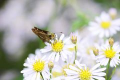 Parnara guttata. A parnara guttata absorbs floral nectar royalty free stock image