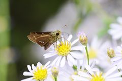 Parnara guttata. A parnara guttata absorbs floral nectar stock photography