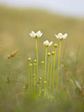 Parnassia pallustris flower Royalty Free Stock Photos