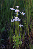Parnassia palustris. Image of a plant to the utmost Royalty Free Stock Photos
