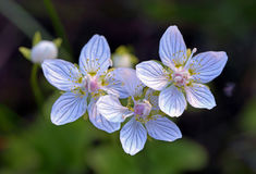Parnassia palustris Stock Photos