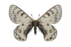 Parnassius在白色背景的simonius taldicus 库存照片