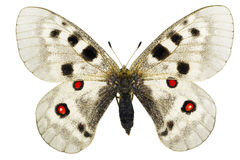 Parnassius apollo Royalty Free Stock Image