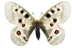 Parnassius apollo. Apollo or Mountain Apollo (Parnassius apollo) isolated on a white background royalty free stock image