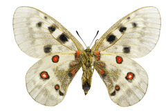 Parnassius apollo Stock Photo