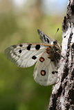Parnassius apollo Royalty Free Stock Photo