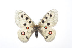 Parnassius Apollo Stock Photos