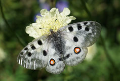Parnassius Apollo Immagine Stock