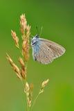 parnassius för mnemosyne för apollo svart fjärilsgräs Arkivbilder