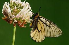 Parnassius glacialis butler/male/butterfly Stock Images