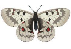 parnassius jacquemonti απόλλωνα διανυσματική απεικόνιση