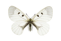 Parnassius mnemosyne. The Clouded Apollo (Parnassius mnemosyne) isolated on a white background stock image