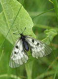 Parnassius mnemosyne royalty free stock photos