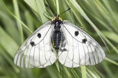 Parnassius mnemosyne Royalty Free Stock Photo