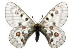 Parnassius phoebus Royalty Free Stock Photo