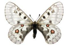 parnassius phoebus 免版税库存照片