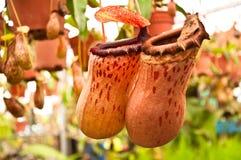 ParNepenthes i min trädgård Royaltyfri Bild