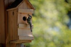 Paro carbonero con la oruga en el pico listo para alimentar los polluelos en nidal imágenes de archivo libres de regalías