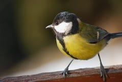 Paro carbonero del pájaro Imagen de archivo libre de regalías