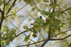 Paro carbonero en una rama que hace frente francia Imagen de archivo