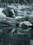 Paro (comandante del Parus) en la orilla de la charca del bosque para el natur Imágenes de archivo libres de regalías