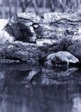 Paro (comandante del Parus) en la orilla de la charca del bosque para el natur Fotografía de archivo libre de regalías