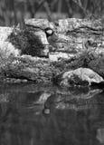 Paro (comandante del Parus) en la orilla de la charca del bosque para el natur Fotos de archivo libres de regalías