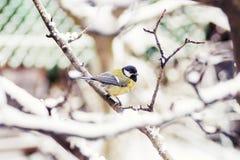 Paro que se sienta en nieve del invierno del fondo de la rama de árbol de abedul Fotografía de archivo libre de regalías