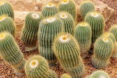 Parodia Claviceps Spegazz cactaceae Stock Photos